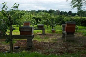 Apiary hives in orchard